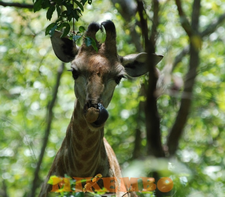 girafe 10