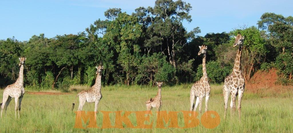 girafe 12