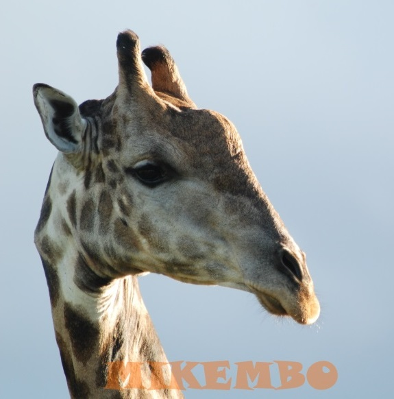 girafe 3