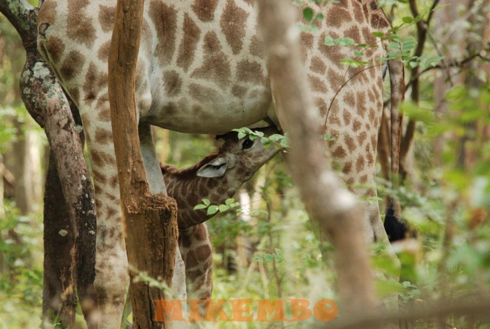 girafe 11