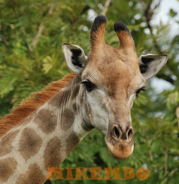 girafe 4