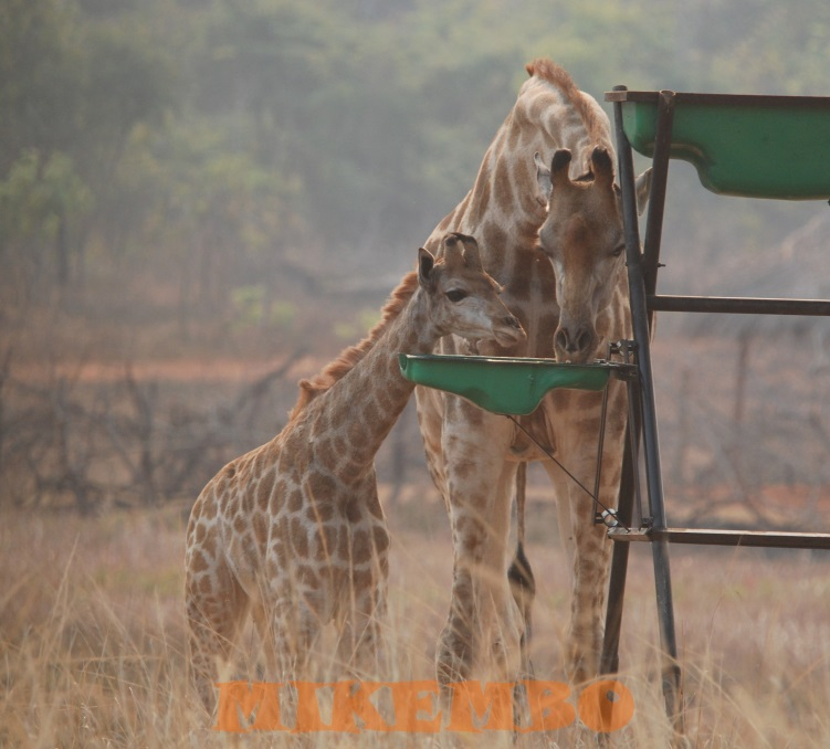 girafe 8